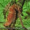 L'hippocampe de l'étang de Thau
