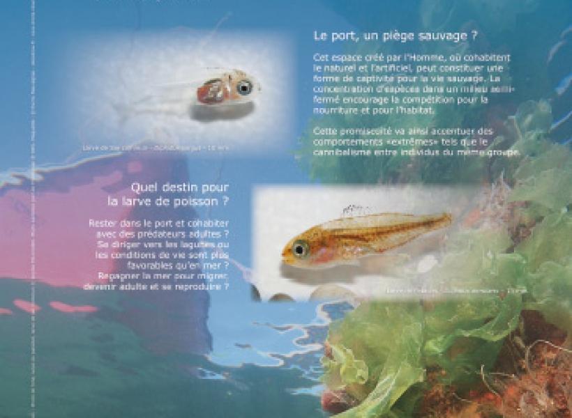 Le port, piège ou refuge pour la vie larvaire